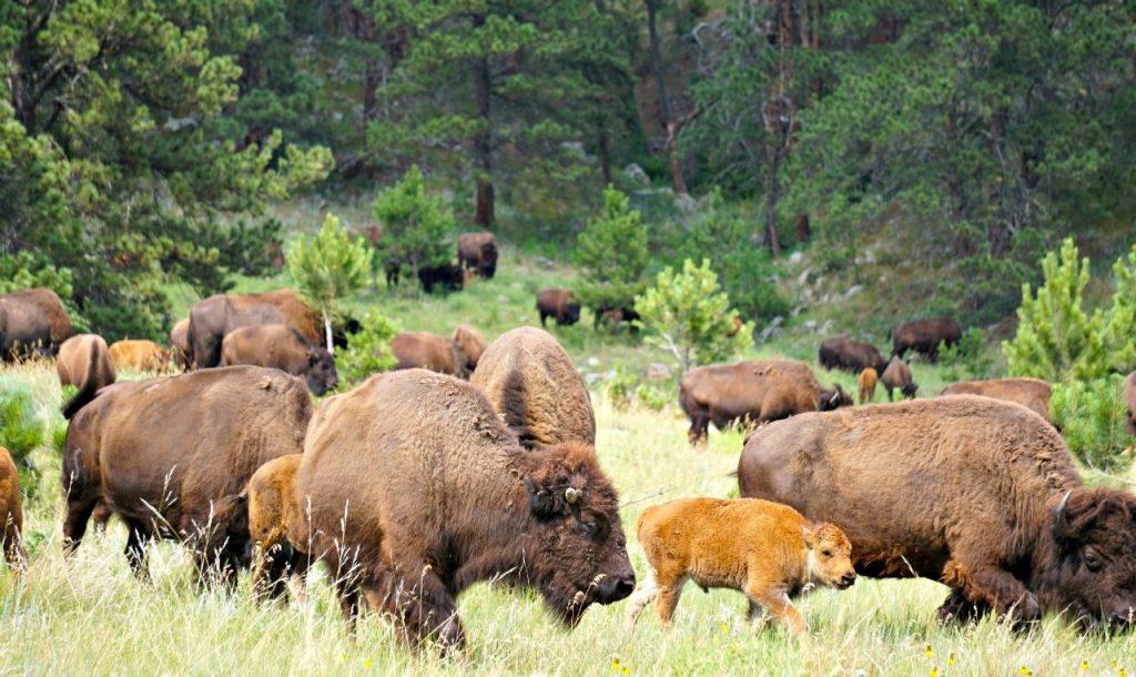 custer state park buffalo south dakota bison wildlife