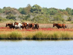 assateague horses national seashore maryland virginia camping