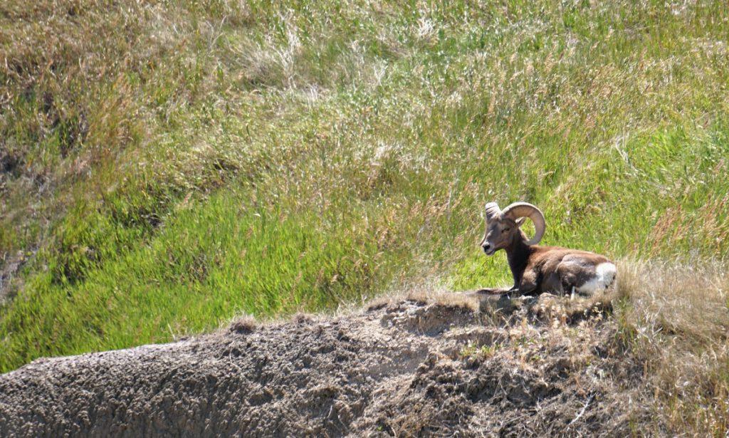 big horn sheep south dakota badlands rv trip wildlife photography