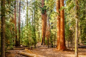 sequoia national park tallest tree in world rv camping